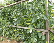 30 Fresh Broad / Fava Bean Seeds - Vicia Faba - Malta Heirloom Grown Organically