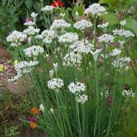 400 Garlic Chives Seeds Non-GMO Free Shipping USA Seller