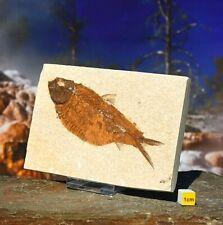 More details for fossil fish on matrix knightia eocaena - large prehistoric dinosaur eocene 242g