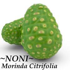 ~Noni~ Variegated Tahitian Morinda Citrifolia Fruit Tree 12-24+in Potted Plant