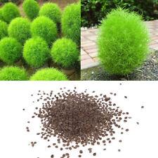 100Pcs Rare Kochia Scoparia Grass Seeds Showy Grow Rapid Exotic Hardy Plant A