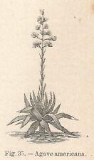 B2685 Agave americana - Xilografia d'epoca - 1924 old engraving