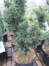 Taxus baccata Cristata - Zwergeibe Cristata