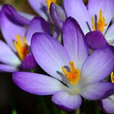 100x Krokus Samen Sativus Blumenzwiebeln Safran Blumen Erhalten Gewürzpflan X3A5