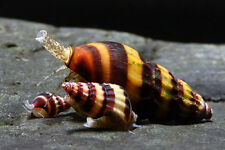 3 Assassin Snails Clea Helena Freshwater Get control of an over run snail tank