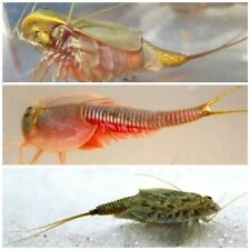 Triops ultimate kit! 3 packets of eggs, 3 different species! Instructions+food