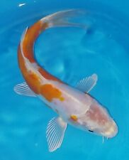 """New listing 7"""" Doitsu Kohaku Standard Fin Live Koi Fish - Japanese Breeder Otsuka"""