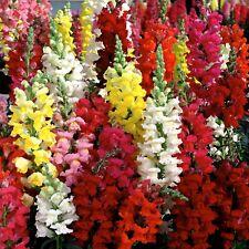 New listing 0.2g (app.1400) common snapdragon seeds Antirrhinum Majus stunning bright colors