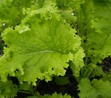 WASABI LETTUCE Brassica juncea 'Superfood' plant in 100mm pot
