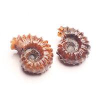 Natural Ammonite Shell Jurrassic Fossil Mineral Specimen Healing Madagascar