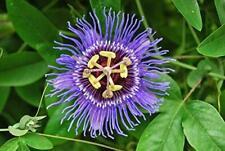 12 Seeds True Passionflower Passiflora incarnata Plant #Fruit