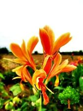 *Uncle Chan* 25 Seed Orange-Yellow Canna Generalis Canna Lily Flower