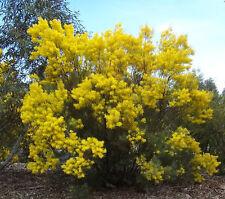 Acacia boormanii - Snowy River Wattle - 30 Seeds