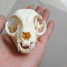 1pcs real Animal Skull specimen