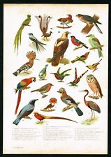 1905 Birds, Hoopoe, Owl, Macaw Parrot, Hummingbird, Antique Ornithology Print