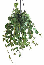 Peperomia Hope - grüner Zwergpfeffer im Ampeltopf - wundervolle Zimmerpflanze