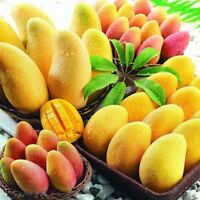 2PCS Real Mango Seeds Mini Tree Bonsai Organic Heirloom Fruit Pot Home Garden