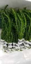 10 STEMS/bunch Anacharis Elodea Densa Egeria - aquarium and/or pond plant