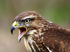 BUZZARD BIRD PREY BEAK HAWK PHOTO ART PRINT POSTER PICTURE BMP429A