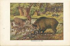 1929 Wildschweine Original Alter Farbdruck Old Print Lithographie