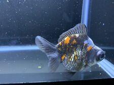 Live Juvenile Calico Demikin Fancy Goldfish #1 + Video In Descriptions