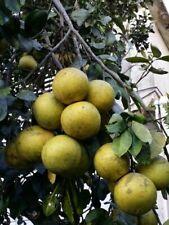 toronja   Citrus trees, Grapefruit tree, live plant fruit