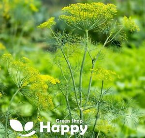 HERB - DILL SEEDS - 5000 SEEDS - Anethum Graveolens - INTENSIVE FRAGRANT