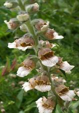 Digitalis Partial Shade Perennial Flowers & Plants