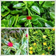 Lot Set of 3 Colors Baby Sun Rose Jewel Heart Leaf Ice Plant Aptenia Cordifolia