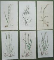 6 Antique Prints Sowerby 1st Edition Grasses Carex Rye Brome Hand Coloured 1796