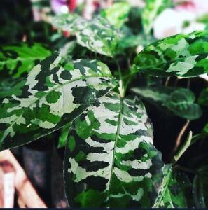 Aglaonema Pictum Tricolor - rare aroid plant (1 seed L Size)
