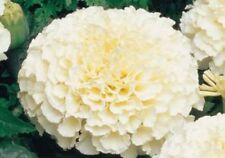 Ex049 Marigold Kilimanjaro White x10 seeds Fresh Scented Attracts Butterflies