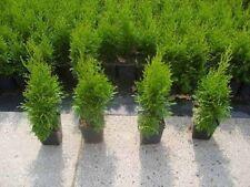 Smaragd Lebensbaum Strauchpflanzen mit mittlerem Wasserbedarf