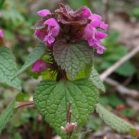Purpurrote Taubnessel - Lamium purpureum - Red Dead-Nettle 100+ Samen - Saatgut