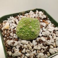 Extremely Rare Pseudolithos succulent cactus live plant