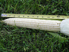 Boone County - Heirloom white dent corn produces huge ears on a 12 foot plant