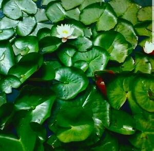 10 Lotus Seeds Sacred Flower Pond River Waterlily Waterlilies Lily Aquatic bowl
