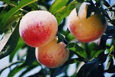 Bulk Seed 4 Peach Tree Seeds Sweet Peaches Organic For Garden Home seeds S023
