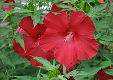 Hardy Hibiscus Seeds- LORD BALTIMORE - Winter Hardy Shrub - 10 Seeds