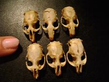 6 REAL MOUSE SKULLS for steampunk jewelry or magic wands TAXIDERMY LOT bones