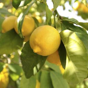 Large Lemon Tree in a 6.5L Pot