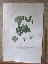 """Vintage Engraving,LICHEN MUSCUS,C.1740,WEINMANN,Botanical,20x13.5"""",Mezzotint"""