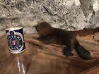 Beautiful Adorable Baby Beaver Kit Small Animal Taxidermy Mount Art Wildlife