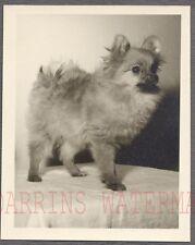 Vintage Photo Cute Pet Pomeranian Puppy Dog 268030