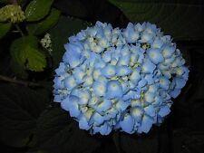 2 Nikko Blue hydrangea Mophead/ Bigleaf Hydrangea's 6-10 inches Tall