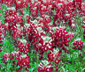 MAROON RED TEXAS BLUEBONNET Lupinus Texensis - 25 Seeds