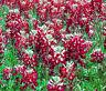 MAROON RED TEXAS BLUEBONNET Lupinus Texensis - 200 Bulk Seeds