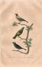 TANAGERS. Burnished-buff, Green-headed & Paradise Tanagers. BUFFON 1837 print
