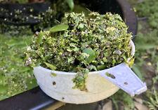 Amazon Frogbit/Limnobium and Duckweed/Lemnoideae, Easy floating aquarium plant