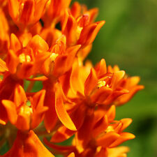 30x Orange Butterfly Milkweed Asclepias Flower Seeds Home Garden New Gift